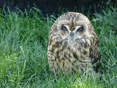 Sleepy Short-eared Owl