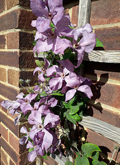 Clematis flowers in the Autumnal sunshine for HFF