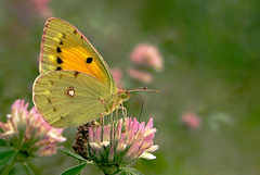 Yes! I saw a beautiful Clouded yellow ~ Oranje luzernevlinder (Colias croceus)...