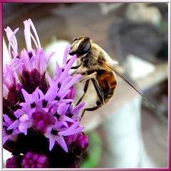 Fleißige Mistbiene. (Eristalis tenax) ©UdoSm