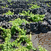 Azores, The Island of Pico, Vineyard on the Ground of Volcanic Rocks and Stones