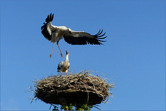 Flying lessons of the young Storks...