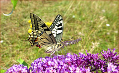 Le Machaon ou Grand-Porte-Queue...