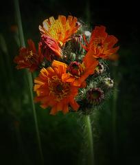Orangerotes Habichtskraut ..