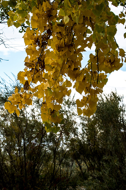 Leaves turning on a tree at the Bosque