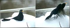 Blackbirds mishap. ©UdoSm