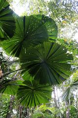 Fan Palm Fronds