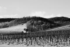 Winterruhe im Weinberg - Winter rest in the vineyard