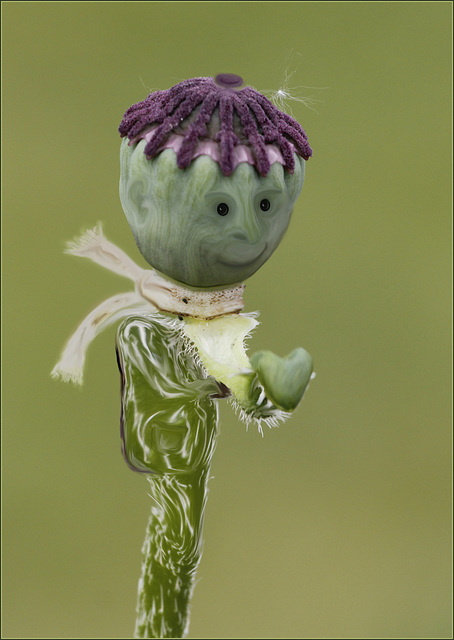 Papaver CapsoTroll