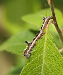 Grey dagger moth (Acronicta psi) caterpillar