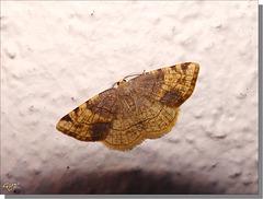 Stegania trimaculata f. cognatana.