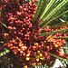 Taormina- Hotel Caparena- Date Palm