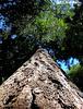 Big Tree, and ...
