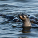 Namibia, The Brown Fur Seal in Walvis Bay