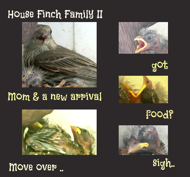 House Finch Family -Brood # 2