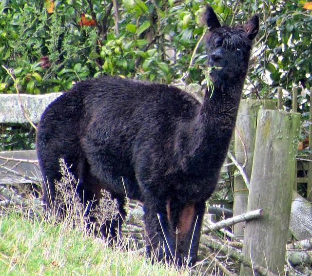 Black Alpaca.