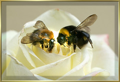 Two Bumblebees on a white rose. ©UdoSm