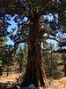 Another very big juniper