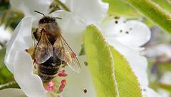 Honigsammler