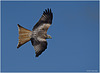 Red Kite Inflight