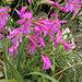 Wilde Gladiole - Gladiolus communis ssp. byzantinus - Byzantinische Siegwurz