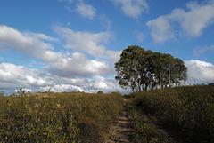 Penedos, Calitros, Eucalyptus