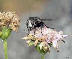 Pseudogonia fasciata
