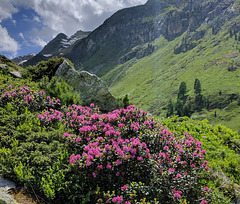 V like nice VIEW (Rhododendrons in the French Alps)
