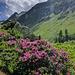Rhododendrons en Savoie