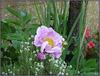 ** Souvenir de mai ; du jardin **