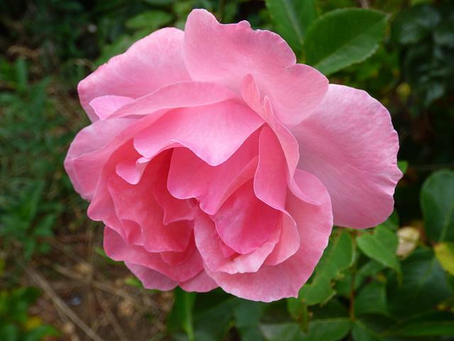 Rosa rosa del sur