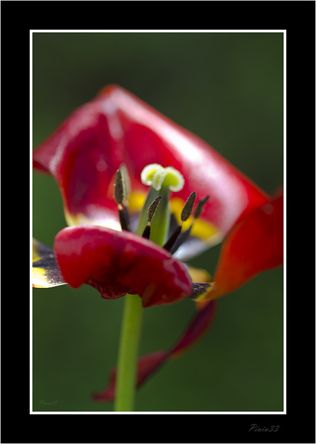 Tulipan Caducado