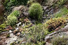 Steinbrechgewächse, Gräser, Moose und Bergwurze an steiler Felswand