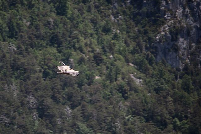 20150529 8296VRAw [R~F] Gänsegeier, Gorges du Verdon, Cote d'Azur