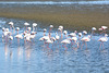 Namibia, Flamingos in the Shallow Waters of Walvis Bay