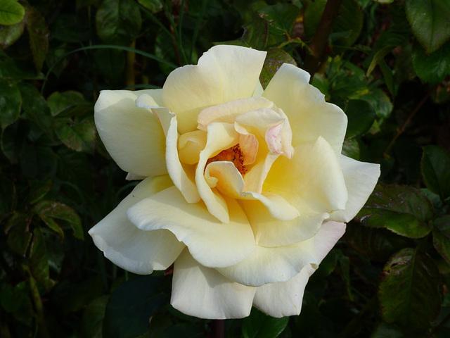 Rosa amarilla de Madrid
