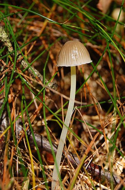 Iodine Bonnet.  Mycena filopes