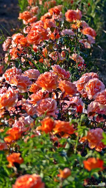 ...unter Rosen...