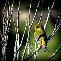 Pour mes ami(e)s Ornithologue..!