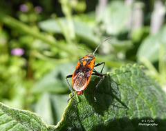 Corizus hyoscyami (Cinnamon bug)