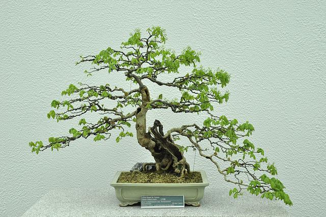 bonsai-90yr-DSC 0665 V2