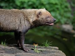 Waldhund (Wilhelma)