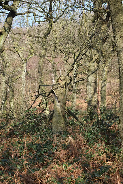 Twisted tree in Shire Hill Wood
