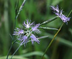 Œillet superbe (Dianthus superbus)