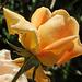 Rose soleil...