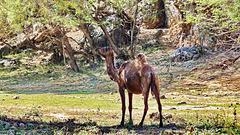 Oman : il dromedario è il mammifero più diffuso