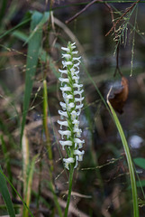 Spiranthes odorata (Fragrant Ladies'-tresses orchid)