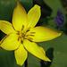 Weinbergstulpe - Wild tulip