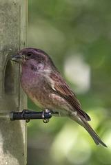 Purple Finch 01