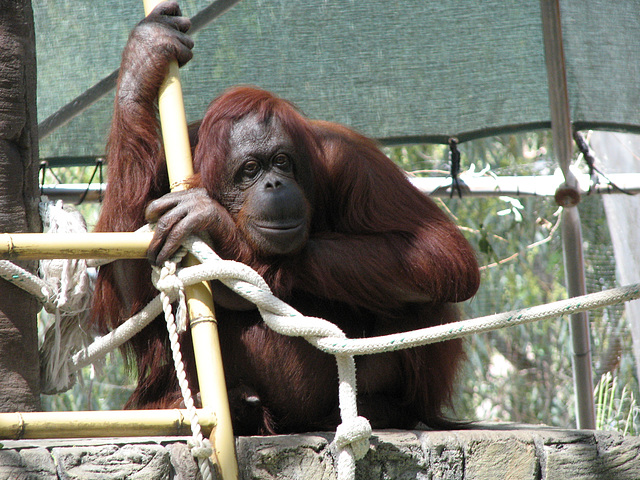 OrangUtan at Phoenix Zoo